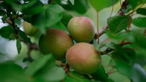 3840x2160 Wallpaper apricots, fruits, branch, leaves