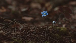 3840x2160 Wallpaper arenaria, flower, blue, lonely, early, wild, earth, moss, needles