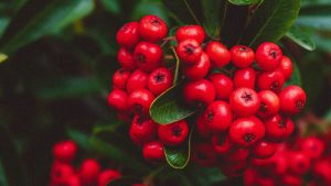 3840x2160 Wallpaper berries, red, bunches, macro, plant