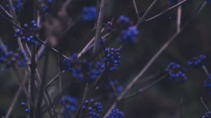 3840x2160 Wallpaper branches, berries, blue, plant
