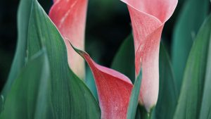 3840x2160 Wallpaper calla lilies, flowers, pink, close up, plant