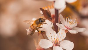 3840x2160 Wallpaper cherry, flowers, bee, insect, branches, macro