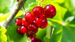 3840x2160 Wallpaper currant, berry, red, fruit