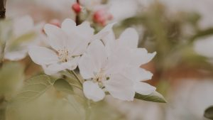 3840x2160 Wallpaper flowers, apple, branches, leaves, bloom, spring
