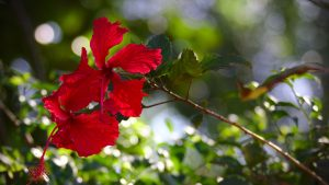 3840x2160 Wallpaper hibiscus, flowers, red, plant
