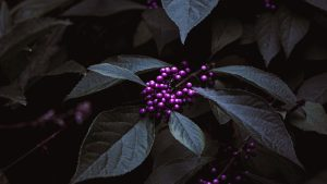 3840x2160 Wallpaper plant, berries, purple, bunches, leaves