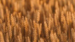 3840x2160 Wallpaper wheat, spikelets, field, cereals, plant